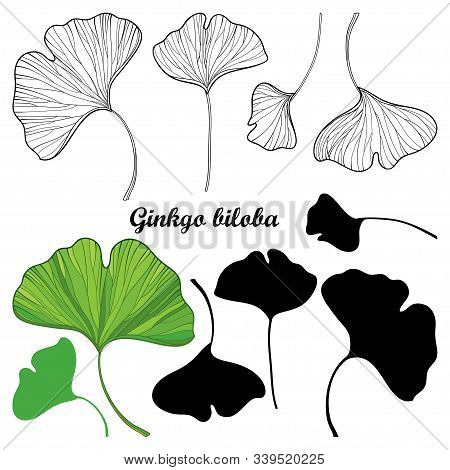 Vector Set Of Outline Gingko Or Ginkgo Biloba Leaves In Black And Green Isolated On White Background