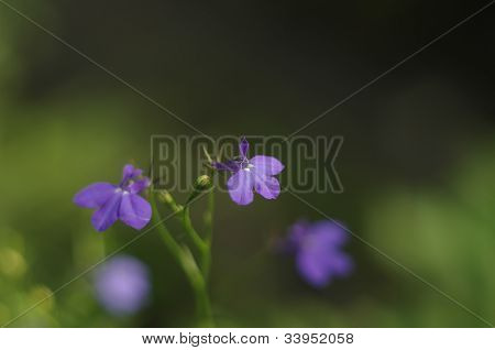 Little violet flowers