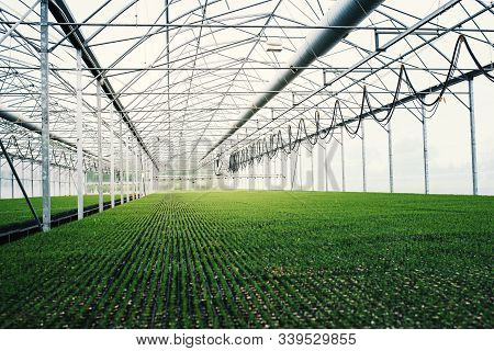 Seedlings Of Coniferous Trees. Pine Seedlings Grown In Commercial Greenhouse. Young Pine Trees For F