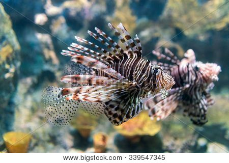 Luna Lionfish Swimming In The Tropical Sea