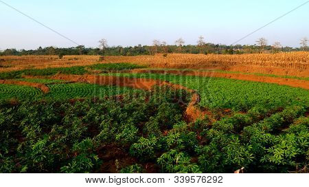 Peanut Fields And Corn Rice Fields, Terraced Rice Fields Structure, Bean Plants Arranged Neatly In A