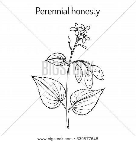 Perennial Honesty Lunaria Rediviva , Medicinal Plant. Hand Drawn Botanical Vector Illustration