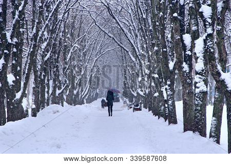 Thick Snowy Forest Covered With Snow Cover. Heavy Precipitations In Winter Forest. Trees And Branche