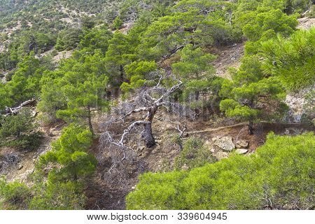 Trail In The Forest Of Relict Pines On A Steep Mountainlside.  Novyy Svet, Crimea.