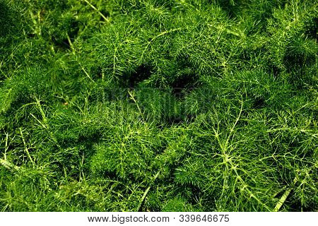 Fennel Plant With Green Feathery Leaves In Spring Sun, Foeniculum Vulgare Plant With Aromatic Leaves