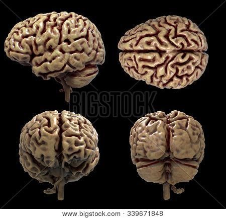 Realistic Rendering Of The Human Brain Anatomy - Three Dimensional Model