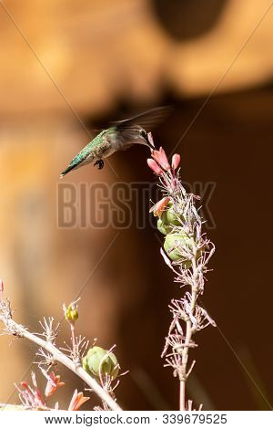A Humming Bird Feeds From A Desert Flower