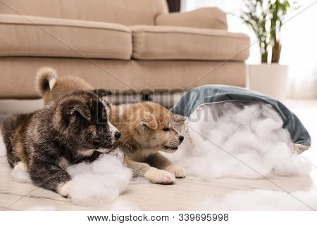 Cute Akita Inu Puppies Playing With Ripped Pillow Filler Indoors. Mischievous Dogs