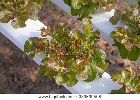 Red Oak Lettuce Grown In A Hydroponic System