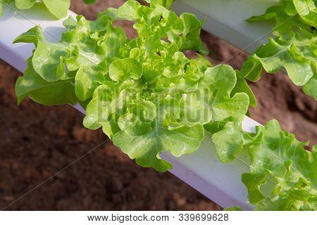 Green Oak Lettuce Grown In A Hydroponic System