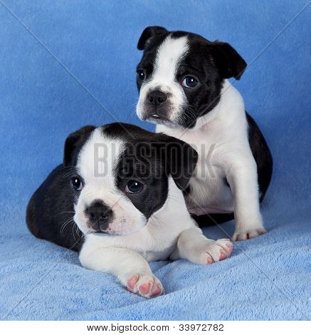 Two Boston Terrier Littermates