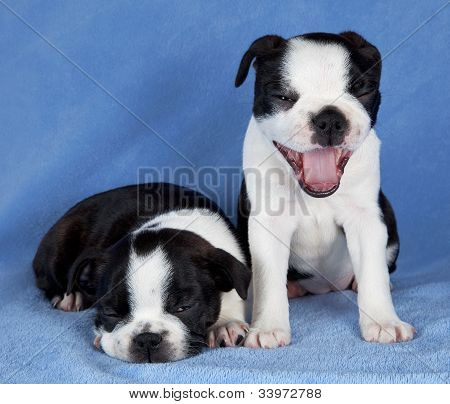 Two Boston Terrier Pups