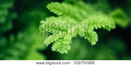 Natural Floral Monochrome Background. Beautyful Dissected Leaves Green Foliage, Banner Format