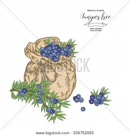 Juniper Tree Branch. Colorful Berries Of Juniper In Flax Bag. Hand Drawn Medical Plants. Vector Illu