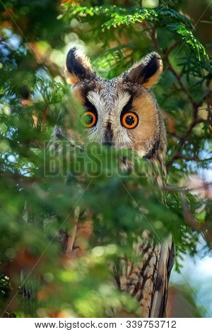 Long-eared Owl Sit In A Branch And Looking On The The Camera