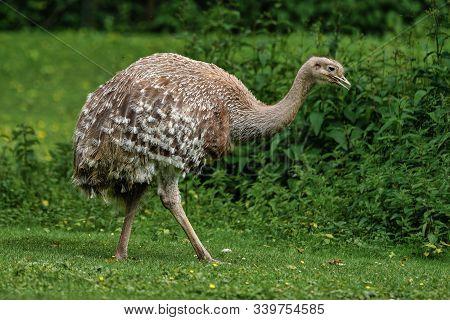 Darwins Rhea, Rhea Pennata Also Known As The Lesser Rhea.