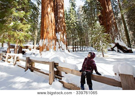 Little Boy Enjoying The View Of Giant Sequoia Tree In Sequoia National Park During Winter, Active Va