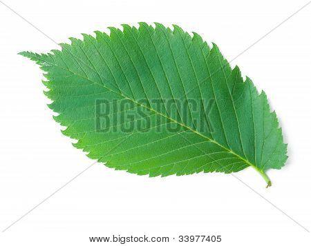 A Leaf Of An Elm Tree