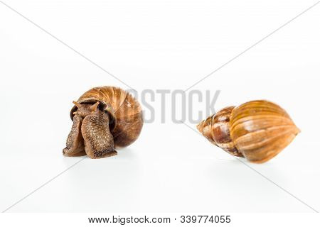 Slimy Brown Snails Isolated On White Background