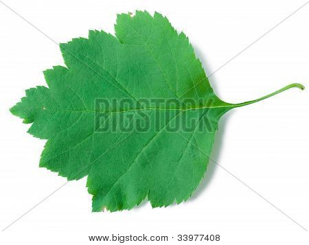 A Leaf Of A Sorbus Latifolia