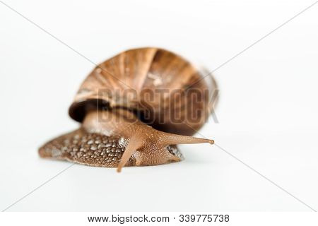 Slimy Brown Snail Isolated On White Background