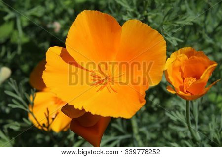 The Beautiful Bright Orange Flowers Of Eschscholzia Californica, Outdoors In A Natural Setting In Cl