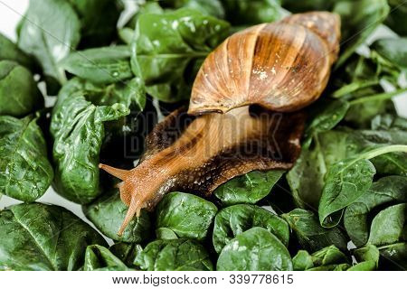Slimy Brown Snail On Green Fresh Leaves