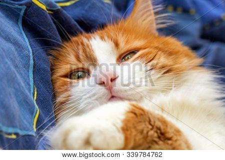 Adult Pretty Red Cat Half Asleep On Blue Background Bed