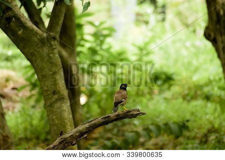 Common Myna Or Indian Mynah (acridotheres Tristis Of Sturnidae Starlings Bird Family) Spotted In For