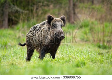 Alert Male Wild Boar Standing Fierceful On A Meadow In Springtime.