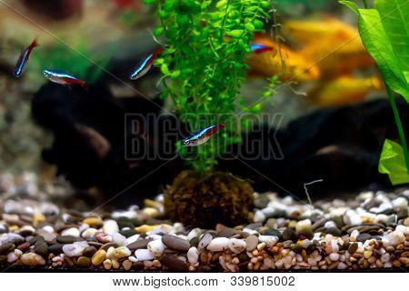Blue Neons - Beautiful Tropical Aquarium Fish In A Home Decorative Aquarium