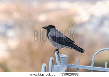 Crow Sitting On A Metal Fence Of The Muslim Part Of The Tomb Of The Grave Of The Prophet Samuel On M