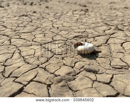 Selective Focus On Shell Of Dead Snail On Cracked Surface Of Weathered Mud Ground In Arid Environmen
