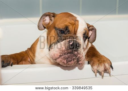Wet English Bulldog Puppy In The Bathroom Red-haired With White Colored Closeup Portrait British Bre