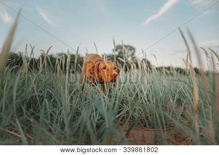Vizsla Dog Pointing On The Beach In Grass