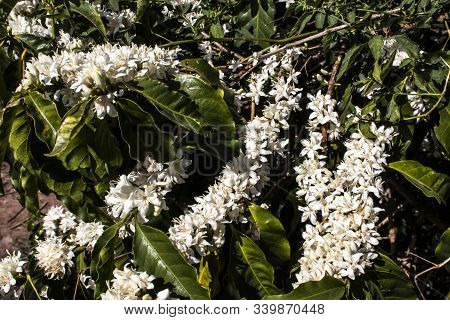 Coffee Tree Blossom With White Color Flowers In Brazil