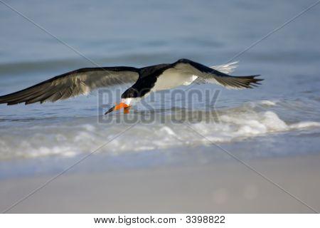 Black Skimmer Skimming The Surf