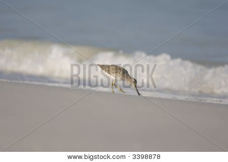 A Short-billed Dowitcher Feeding On The Surf Line poster
