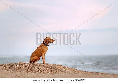 Vizsla Dog In A Collar Sitting On A Beach