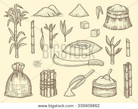 Sugarcane. Growth Healthy Cultures Plants Crops Sugarcane Food Ingredients Vector Sketch Collection.