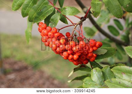 Red Berries On The Branches Of Sorbus Aucuparia On A Sunny Autumn Day