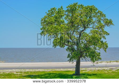 American Elm (ulmus Americana) City Of Long Beach, Harrison County, Mississippi Usa