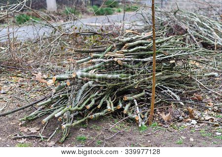 Group Of Thin Poplar Branches. Sawn Poplar Branches On The Ground. Pruning Trees By Municipal Worker