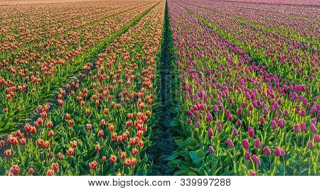 Overview Of Red And Purple Blooming Tulip Bulbs In Converging Flower Beds In South Holland.