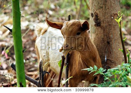 Goat Eating In The Forest