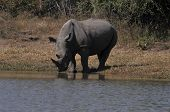 White Rhino drinking water at Kruger Park South Africa poster