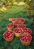 Apple Orchard Harvest