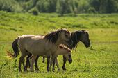 Group of Konik horses in nature in sunlight poster