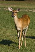 White-tailed doe deer standing in a grassy field. poster