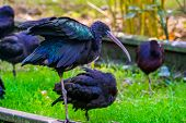closeup portrait of a black glossy ibis, Exotic bird specie from America poster